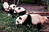 Vacation travel - Giant Panda Breeding - China, picture #497