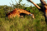 Vacation travel - Giraffe in African bush, picture #408