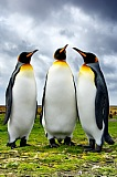 Vacation travel - King Penguins, picture #11