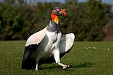 Vacation travel - King Vulture - Argentina, picture #230