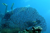 Vacation travel - Large Gorgona coral, picture #469