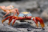 Vacation travel - Sally Lightfoot Lava Crab, picture #175