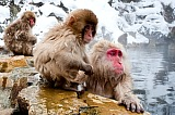 Vacation travel - Snow monkey - Japan tours, picture #357