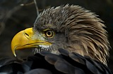 Vacation travel - Steller Sea Eagle, picture #407