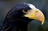 Vacation travel - Steller Sea Eagle, picture #457