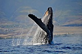 Vacation travel - Whale in Maui Hawaii, picture #306