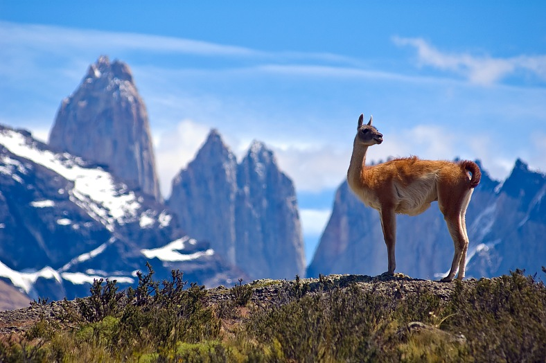 Andes tours, Chile travel. Guanaco (Lama Guanicoe) admiring the Andes. Torres del Paine National Park, Patagonia. Chile vacations.