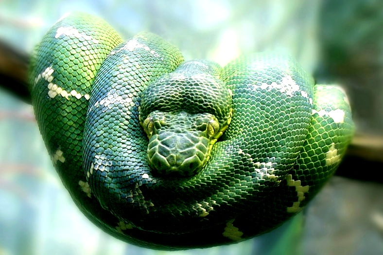 Brazil travel. Amazon river - an Emerald Tree Boa (Corallus caninus) asleep on a vine. Brazil vacations.
