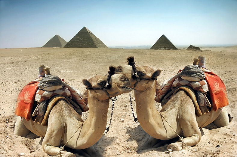 Egypt holidays. Two camels in the sand desert near pyramid in the Egypt, Cairo - Giza. Budget Egypt tours.