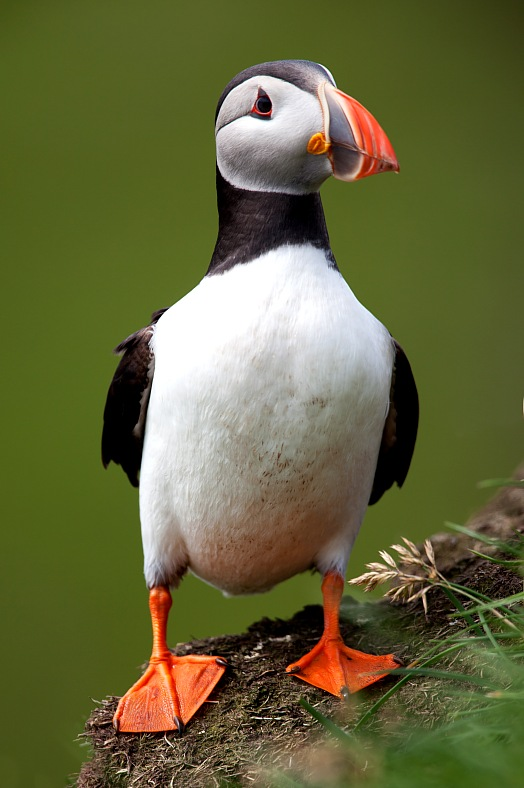 Faroe Islands tourism. Atlantic Puffin with webbed feet. A puffin standing front on, Mykines. Faroe Islands tours.