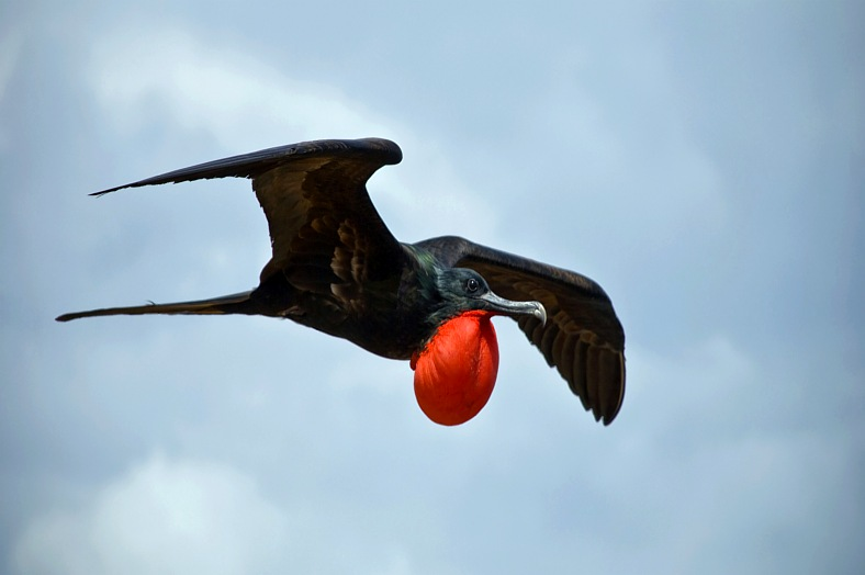 Galapagos travel - magnificent Frigatebird. Galapagos holidays.