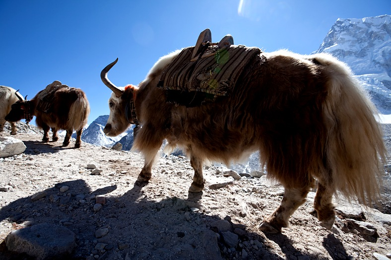 Himalayan tours, Nepal tourism. Yak crowd in Himalayan mountains. Nepal travel. Himalayas trekking.