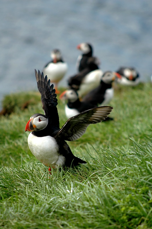 Iceland vacations. Group of Puffins in Iceland Eastern fjords. Iceland travel packages.