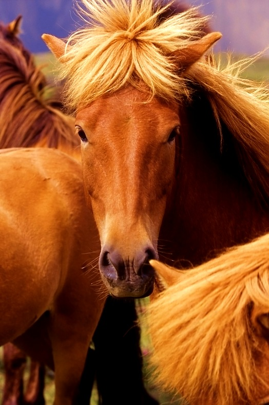 Iceland tours. Portrait of an Icelandic horse. Iceland tourism.