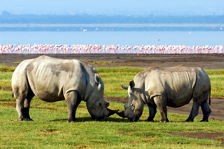 Kenya Safari Holidays. Rhinos in Lake Nakuru national park, Kenya travel.