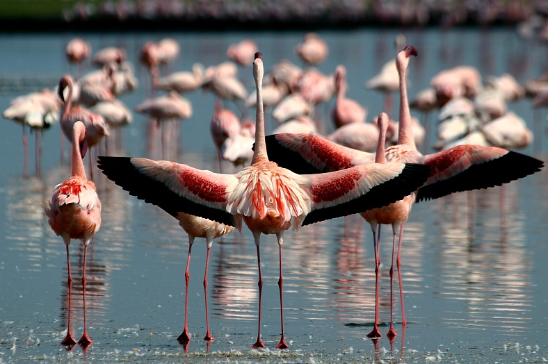 Kenya tourism. Lesser Flamingos spreading their wings at Lake Nakuru National Park. Kenya Safari Holidays.