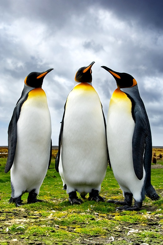 Antarctic tourism. Three King Penguins (Aptenodytes patagonicus) at Volunteer Point. Antarctica cruise.