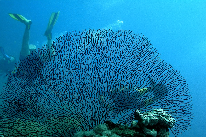 Large Gorgona coral - vacation travel photos