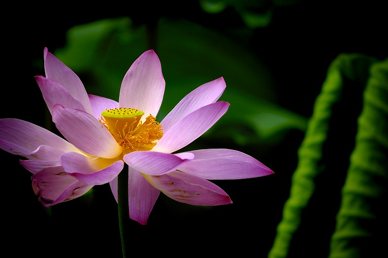 Lotus In Full Bloom - vacation travel photos