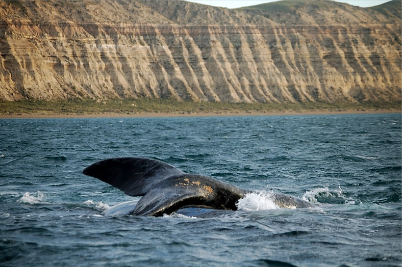 Patagonian whales - vacation travel photos