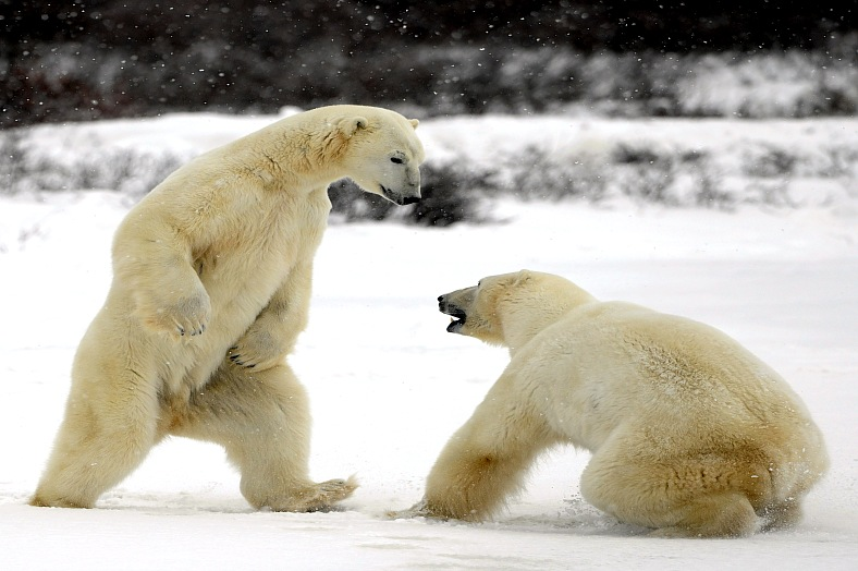 Russia tours. Fight of polar bears. Two polar bears fight. Tundra with undersized vegetation. Travel Russia.