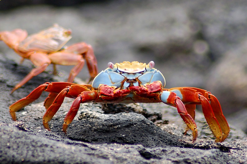 An adult lava crab of the Galapagos Islands, known as a Sally Lightfoot.