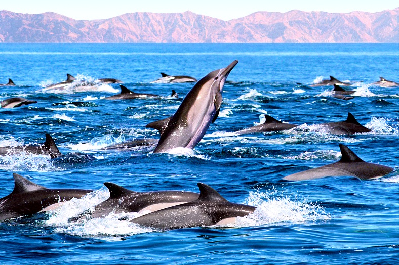 Sea of Cortez cruises - a dolphin displaying a spy-hopping behavior. Sea of Cortez resorts.