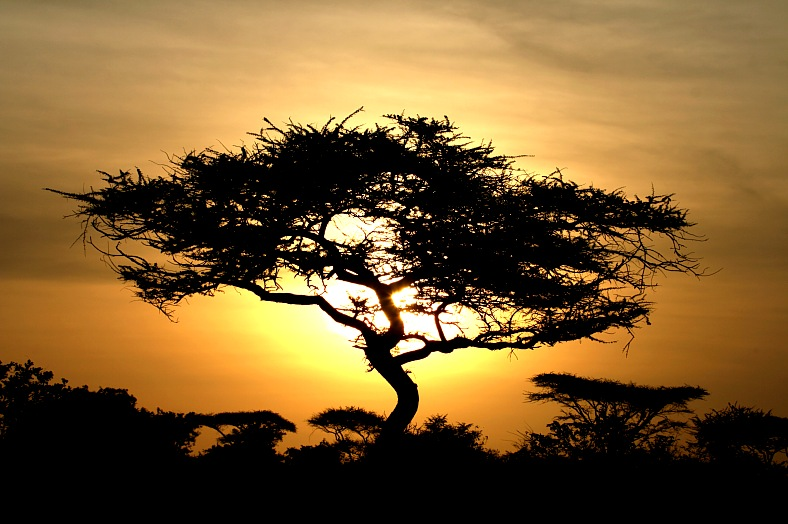 Acacia Tree Sunset, Serengeti. Africa tours - sunset over Serengeti wildlife conservation area. Tanzania, East Africa Safari - vacation travel photos