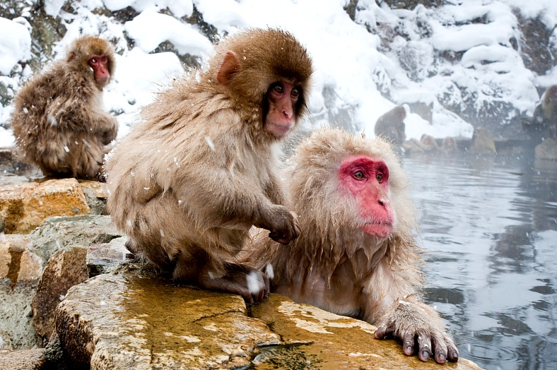 Japan travel. Adult and juvenile Japanese macaque lounging at hot spring. Japan tours.