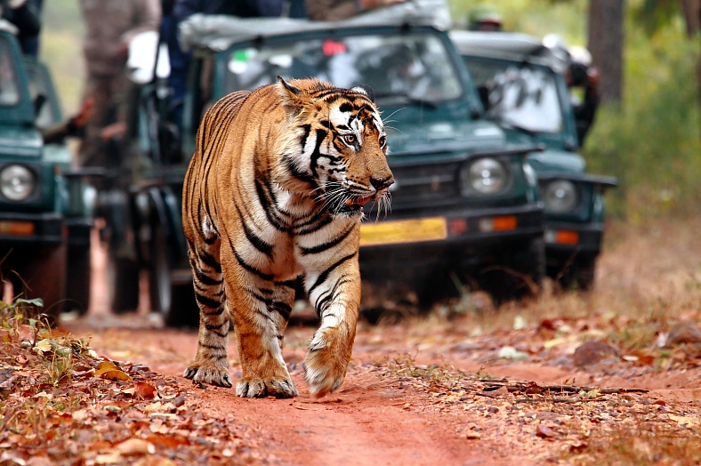 India travel. Bandhavgarh Tiger Reserve. Tiger spotting on Safari tour India.
