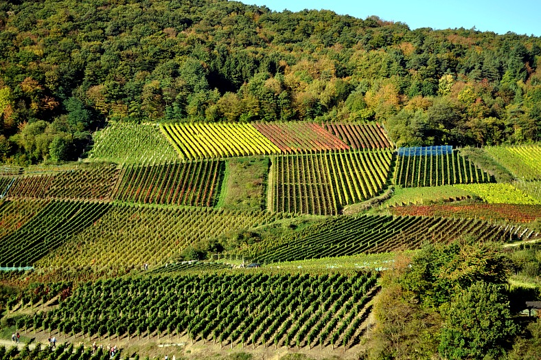 Vineyard, Western Germany - vacation travel photos