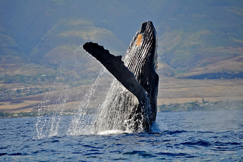 Hawaii travel. Breaching Humpback Whale in Maui. Hawaii tours.